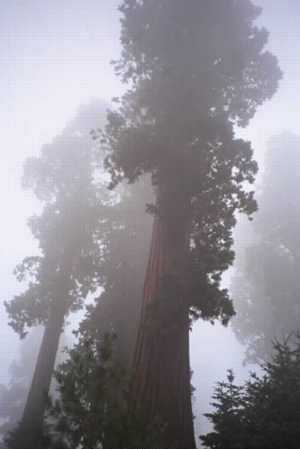 Beautiful giant sequoias